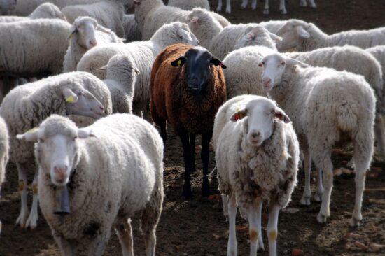 zwarte schaap in kudde van witte schapen